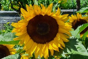 Sunflower, Insel Mainau, Lake Constance