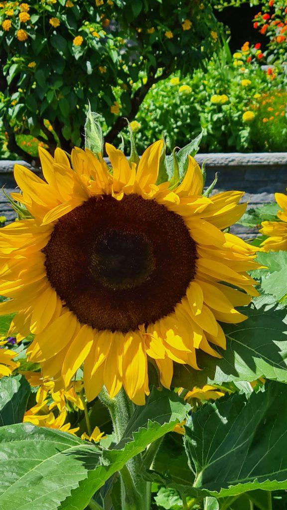 Sunflower, Insel Mainau, Lake Constance