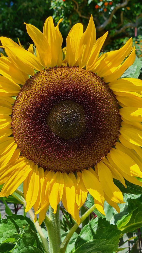 Sonnenblume, Insel Mainau, Bodensee