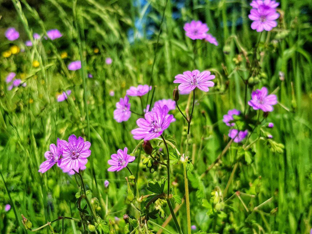 Purple flower meadow