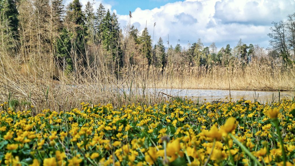 Dreamy Sihlwald pond surrounded by reeds and yellow flowers.