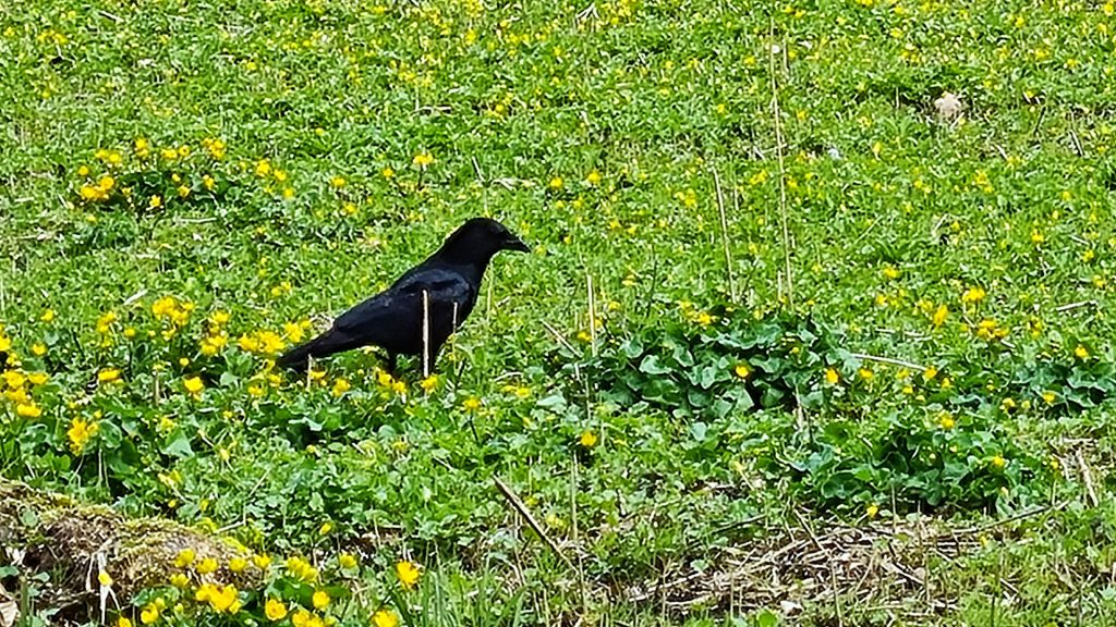 A crow in the bog meadow