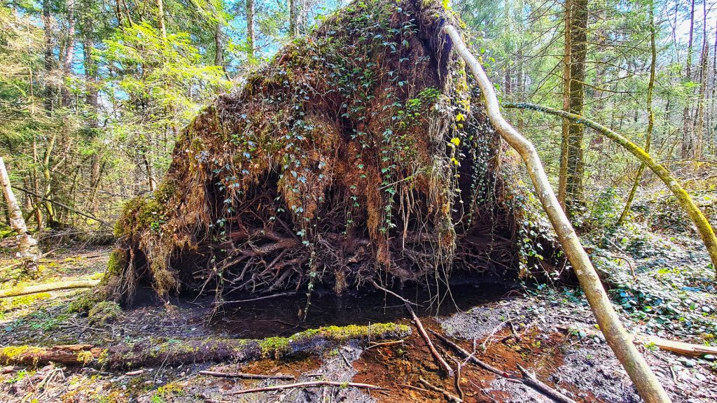 Dead wood is extremely important in the forest as a habitat for numerous creatures and a nutrient supplier for the soil!