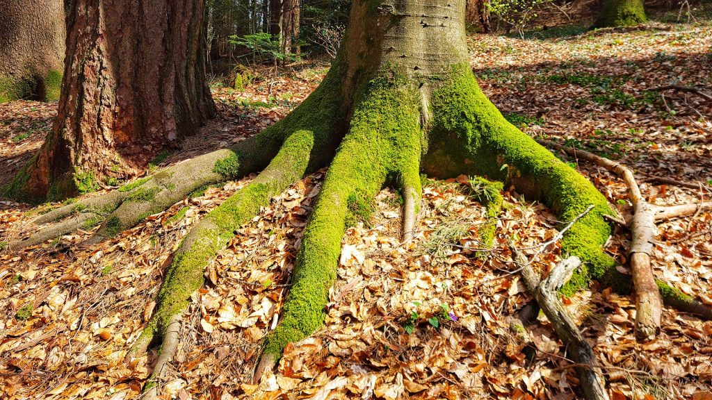 Beautiful Tree roots overgrown with moss, it looks like a dinosaur foot.