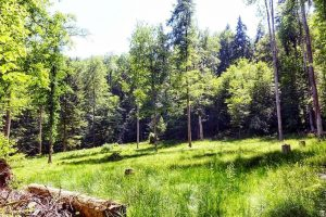 A lush green meadow in the middle of the Sihlwald