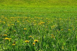 Sihlwald, Sihl Valley Impressions 2021, Dandelion