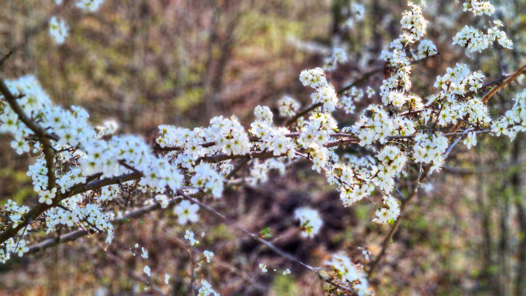 Sihlwald, Sihl Valley Impressions 2021, Spring blossom