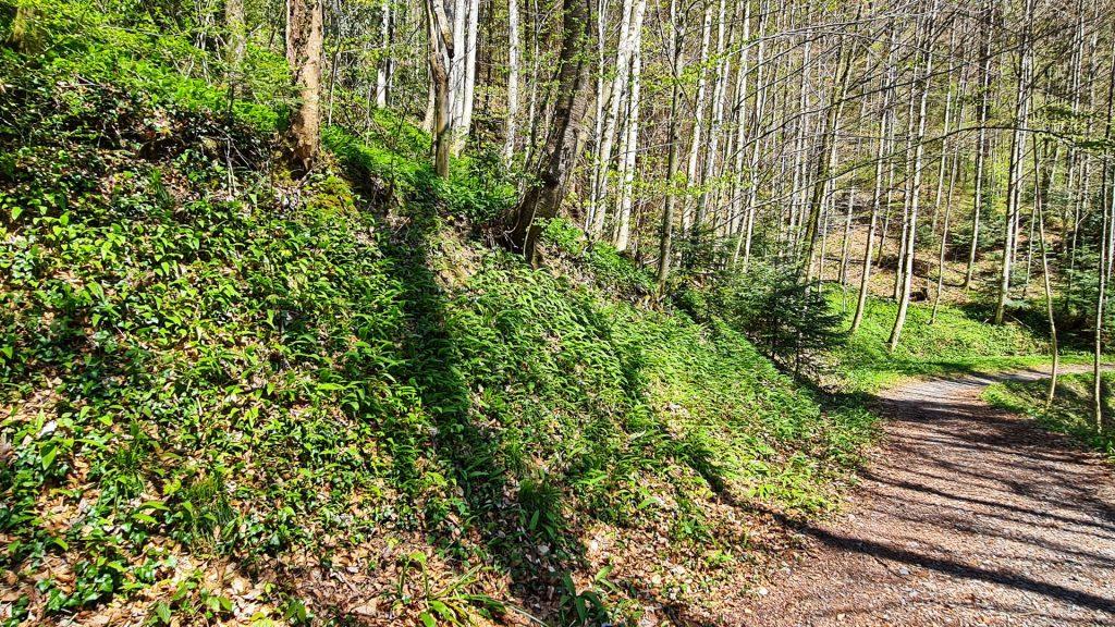 Sihlwald, Sihl Valley Impressions 2021, Wild garlic